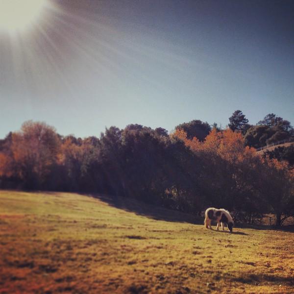 miniature horse in a grassy field